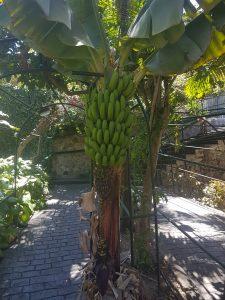 bananpallare