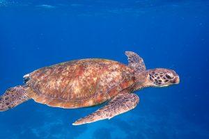 dagarna på havet del1 sköldpadda
